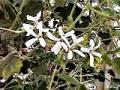 302 Pelargonium denticulatum