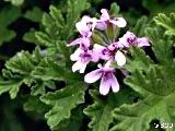 303 Pelargonium graveolens