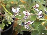 304 Pelargonium tomentosum