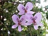 306 Pelargonium crispum