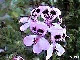 308 Pelargonium quercifolium
